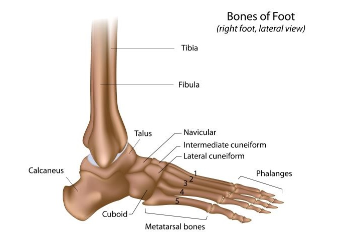 foot-ankle-bones